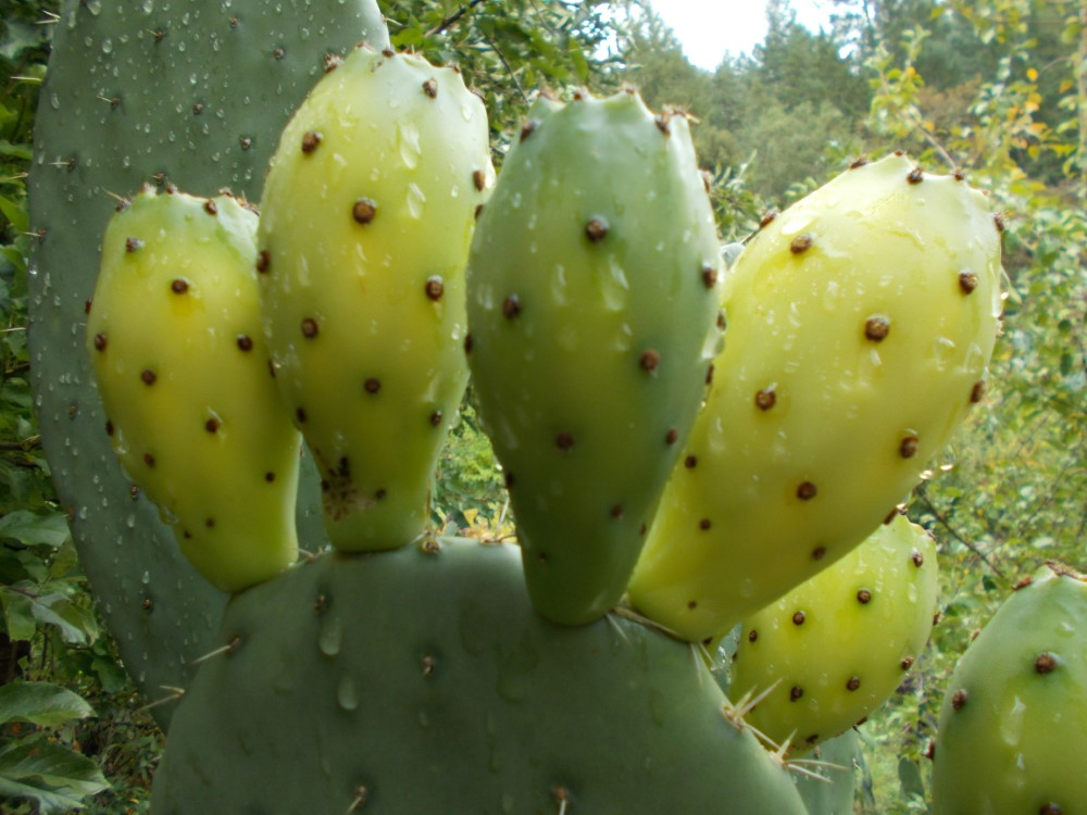 Desert Dream Prickly Pear cactus (Custom)
