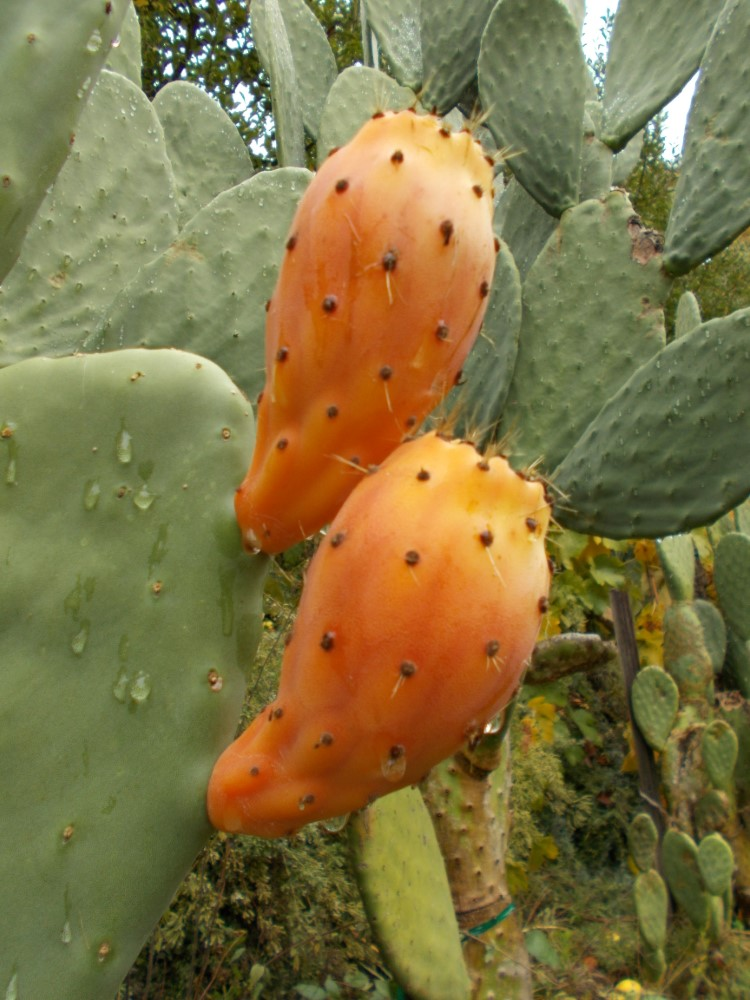 Saffir Select Prickly pear cactus (Custom)